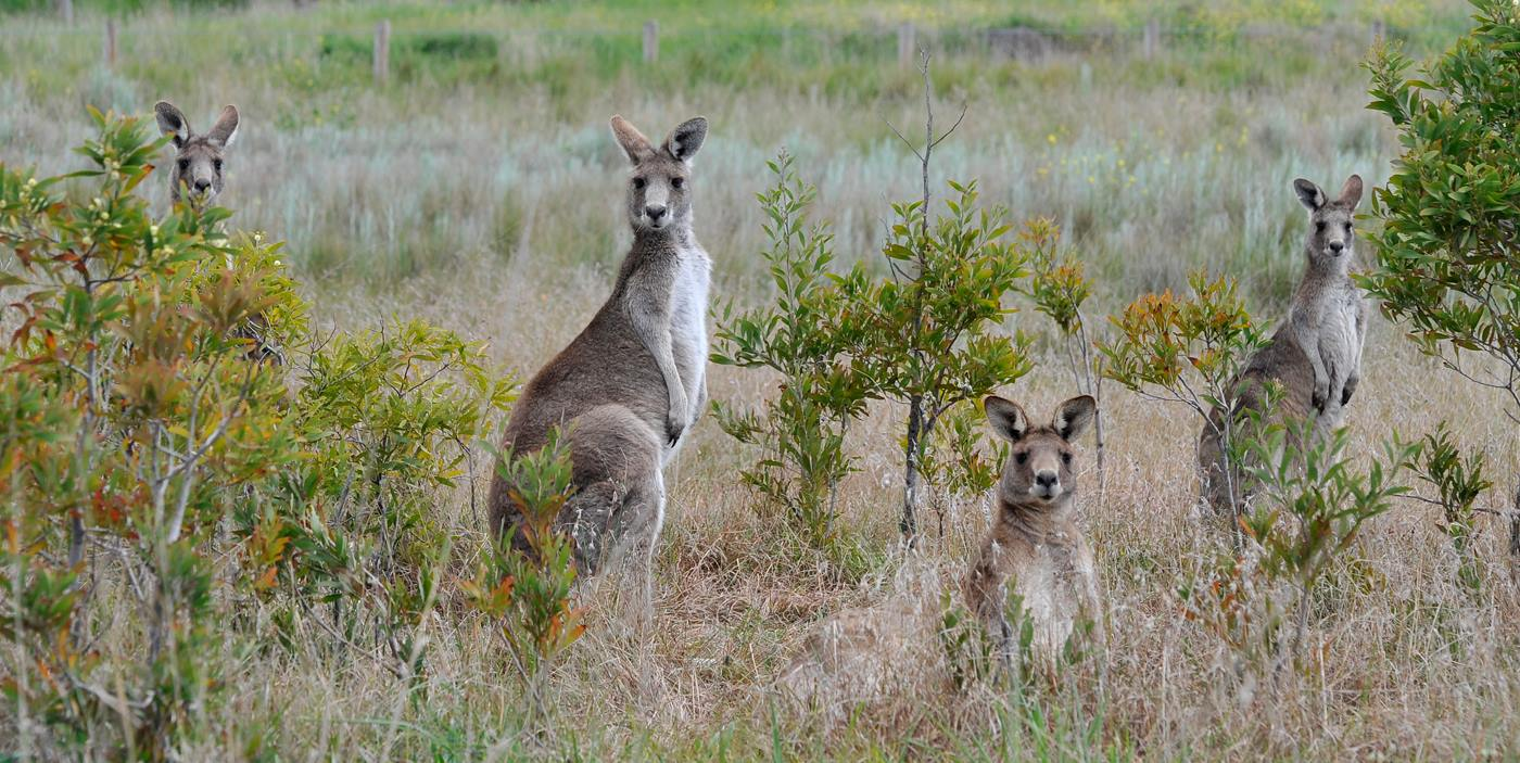 Chris Clarke owns this pic of Roos at Ngarri djarrang