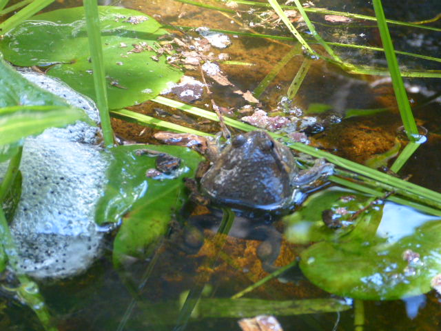 Pobblebonk frog in wetland