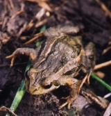 common froglet mcmc