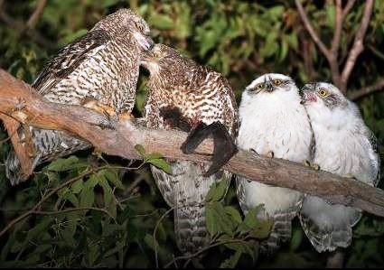 Powerful Owl family
