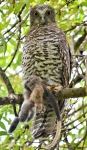Powerful Owl with Ring tail 17 April 2020 1b in Fairfield by Craig Lupton