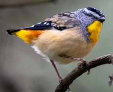 Spotted Pardalote cropped P Mollison