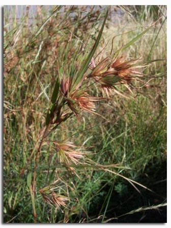 Kangaroo grass (Themeda triandra)