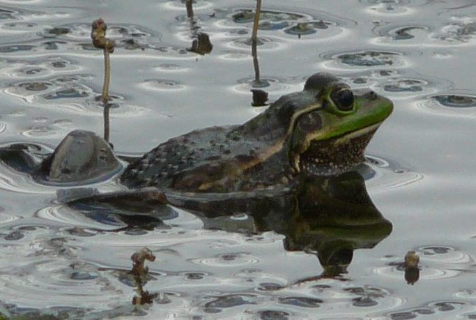Growling Grass Frog on the Merri Creek