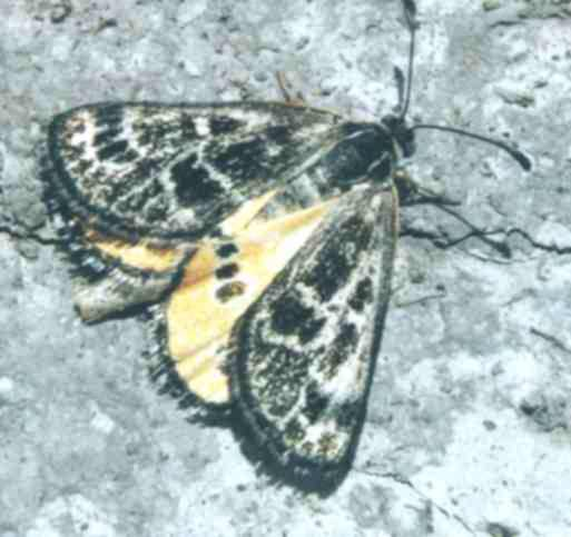 Female Golden Sun Moth showing her colours