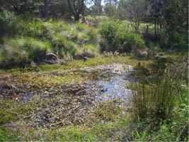 Wetlands were once common throughout the Merri Creek catchment and offered habitat for scores of fish, insects, birds, lizards and frogs.   Some of them may have looked like this.  Actual photo: Hall Reserve wetland, Clifton Hill