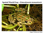 spotted marsh frog